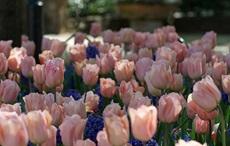 Blomstermarker i Tivoli